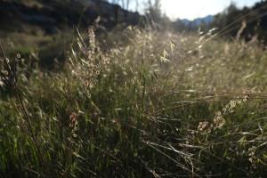 Morning light cutting through  fields of wheat grass.