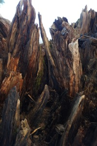 The upended root system of a Sequoia.
