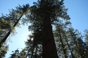 This does not adequately show the girth of these mammoth trees. They are from of an age of giants.